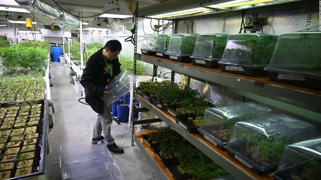 La compañía de cannabis más grande del mundo se reduce