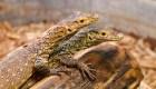 Dragona de Komodo tiene crías sin aparearse con un macho
