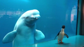 El pingüino Wellington visita a las belugas