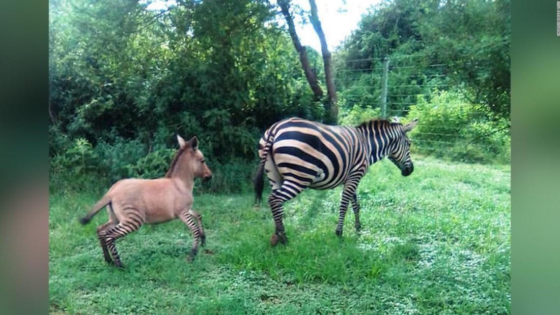 Conozcan a este raro híbrido entre una cebra y un burro