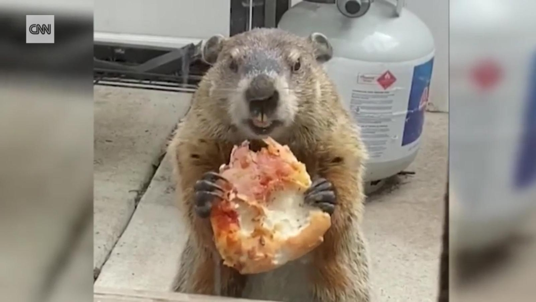 Hazte a un lado 'Pizza Rat', llega la marmota de la pizza