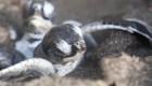 Tortugas anidan en paz gracias al cierre de playas