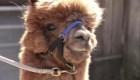 ¿Harías una videollamada con una alpaca?