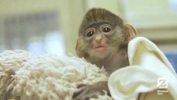 Un pequeño mono sobrevive a fractura de cráneo