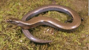 Una hazaña extraordinaria realizada por un lagarto podría sugerir que la especie está pasando por una rara transición evolutiva