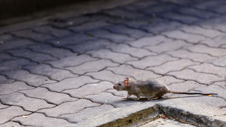 Cómo son las ratas