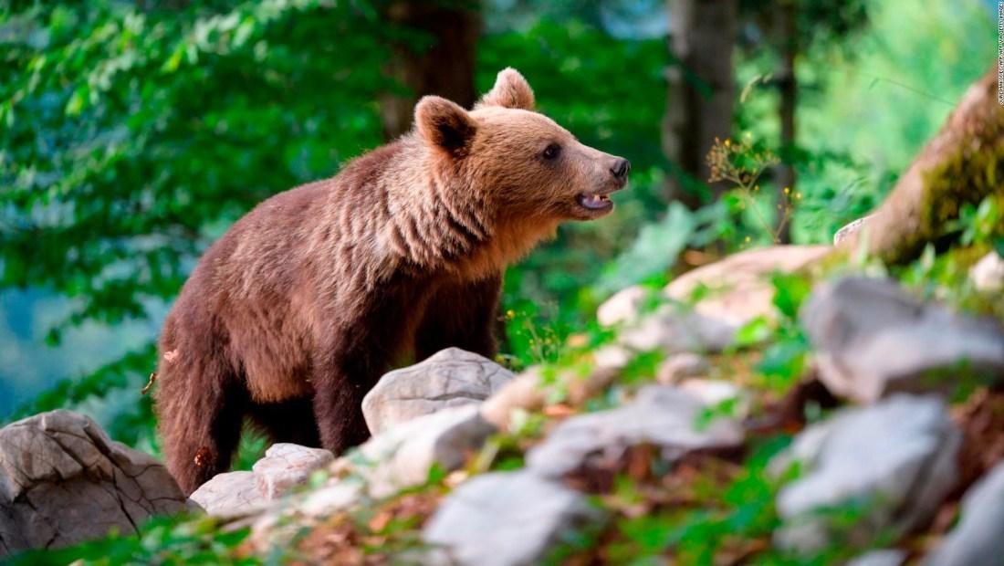 España: Un oso pardo sorprende en parque de Galicia