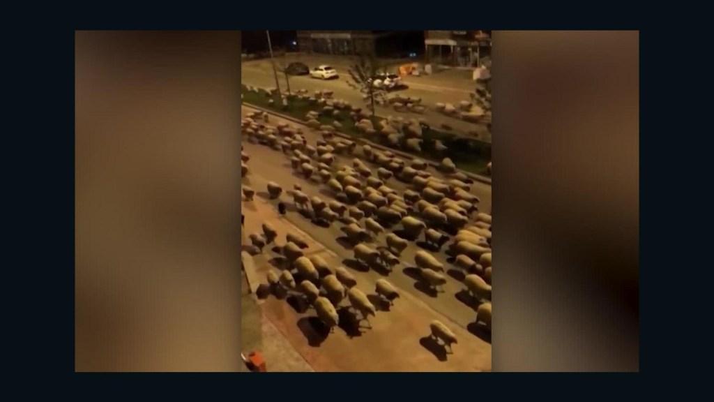 Rebaño de ovejas inunda las calles de esta ciudad en Turquía
