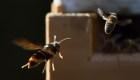 Así matan a las abejas los avispones gigantes invasores