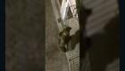 Un oso intenta escalar un edificio en Italia