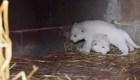 La tierna imagen de dos cachorros de león blanco