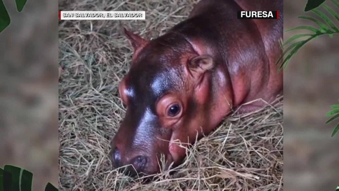 Así se divierte este bebé hipopótamo en El Salvador