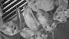 Los murciélagos no son los culpables del covid-19, asegura especialista de la UNAM