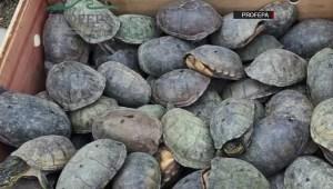 México: miles de tortugas se salvan del comercio ilegal
