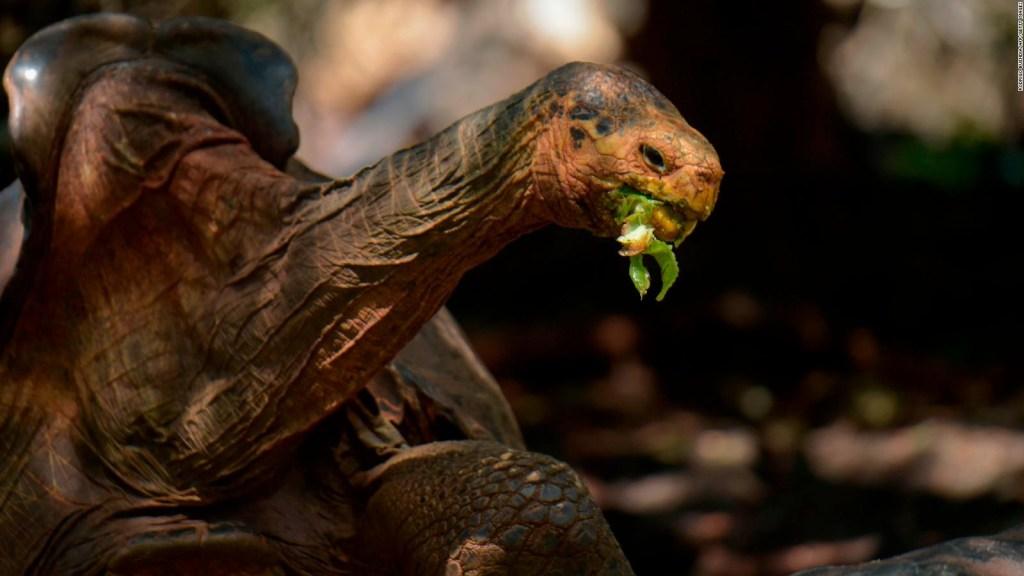Merecido descanso para la tortuga gigante Diego