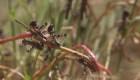 Langostas y otras plagas que azotan en medio de covid-19