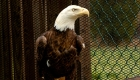 """Insólito: """"el susurrador de águilas"""" en Virginia"""