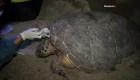 Tortuga en peligro de extinción pone huevos en una playa