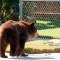 Autoridades al rescate de osos en apuros