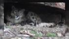 Captan a leoparda de las nieves amamantando a sus cachorros