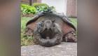 Una tortuga caimán en las calles de Virginia