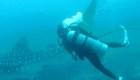Video muestra un fallido rescate de un tiburón ballena