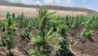 Colombia como productor de cannabis medicinal en el mundo