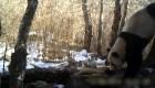 Hallan un panda gigante en estado salvaje en China