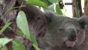 Alertan sobre posible extinción de los koalas para 2050