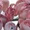 Los flamencos rosados son más agresivos que sus contrapartes más pálidas, según un nuevo estudio
