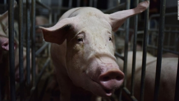 Investigadores de China descubren nueva gripe porcina con 'potencial pandémico'