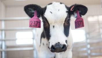 Ensayos en humanos para tratamiento del covid-19 derivado de la sangre de las vacas comenzarían el próximo mes
