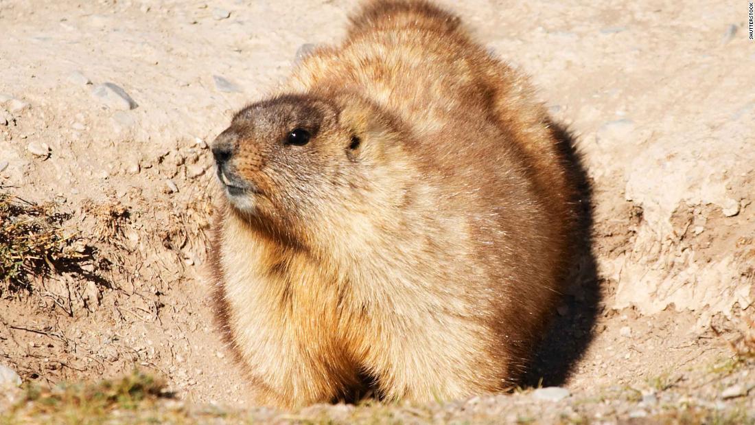 Adolescente muere de peste bubónica en Mongolia tras comer carne de marmota