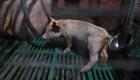 Detectan una nueva gripe porcina