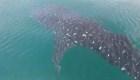 Un tiburón ballena disfruta de las aguas de México