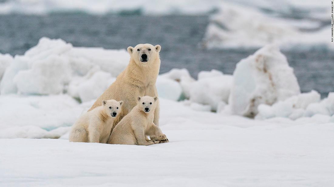 La mayoría de osos polares podría tener que luchar para sobrevivir en el Ártico para el 2100, según estudio