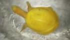 Encuentran una extraña tortuga amarilla en la India