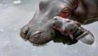 Nace hipopótamo del Nilo en México