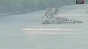 Taxista se topa con un tigre en medio de vía en China