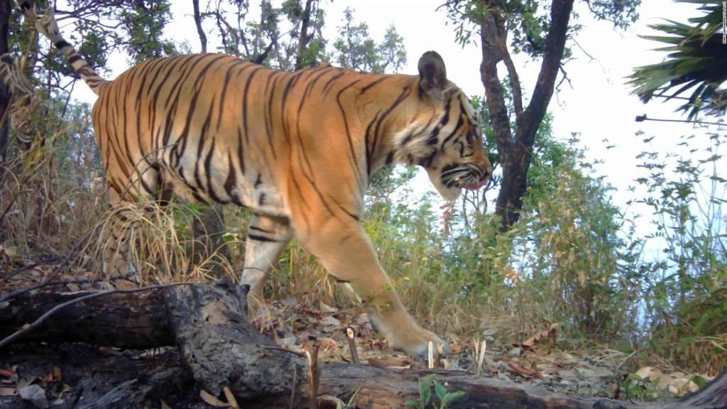 Reaparición de tigres en extinción ofrece una esperanza