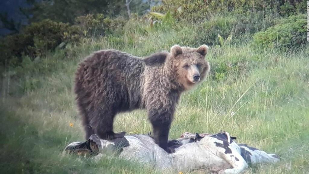 """Vuelve a escaparse el oso """"maestro de la fuga"""""""