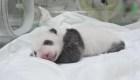¿Te gustaría ponerle nombre a este panda?