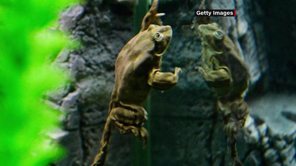 Anuncian misión para evitar extinción de rana del Titicaca