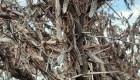 Imágenes impactantes de plagas de langostas en Argentina