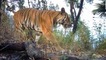 Tigres en peligro de extinción captados en cámara en Tailandia refuerzan la esperanza de supervivencia de las especies