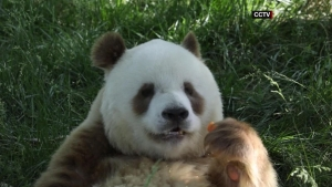 China logra salvar al panda, pero comete un descuido