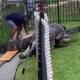 Padre salva a su hija de un enorme caimán
