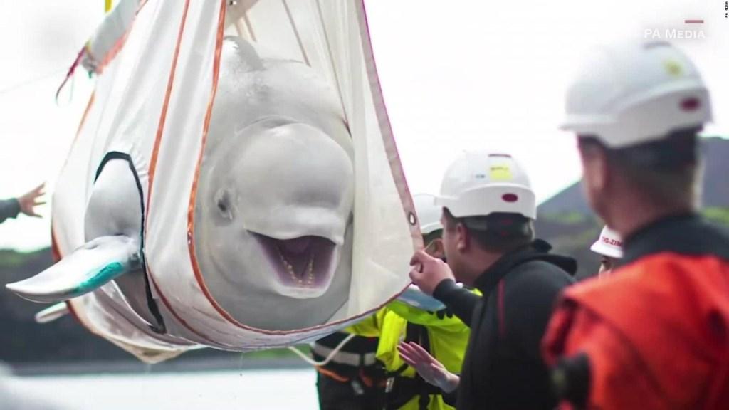 Mira el regreso al mar de estas ballenas beluga
