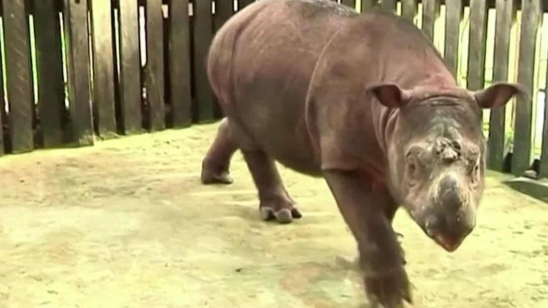 Científicos buscan recuperar raza de rinoceronte extinta