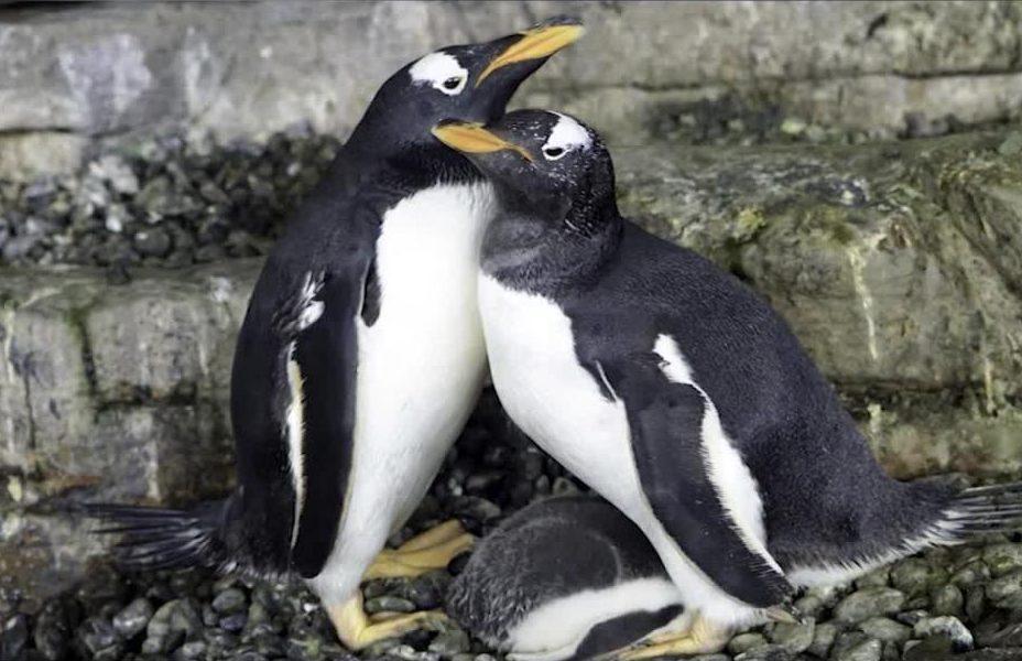 Pareja de pingüinos del mismo sexo adoptan un huevo